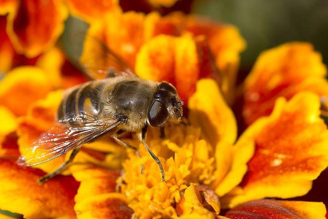 Tagetes sind nützlich für Bienen und andere Insekten.