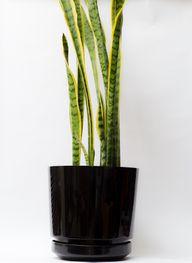 Zimmerpflanzen: Bogenhanf