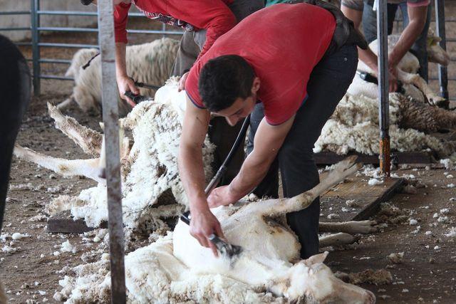 Egal ob Schaf oder Ziege: Das Scheren ist oft eine qualvolle Prozedur für das Tier.