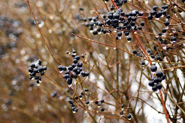 Die Beeren des Liguster sind schwach giftig.