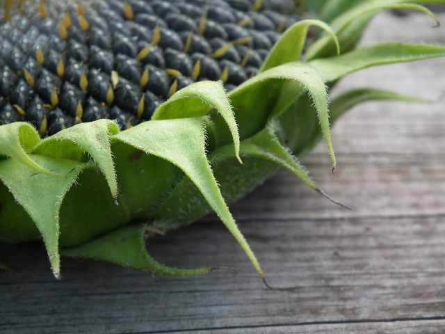Sonnenblumenkerne ernten und rösten