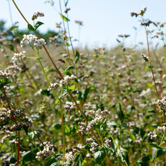 Paradies für Bienen: Buchweizenfeld