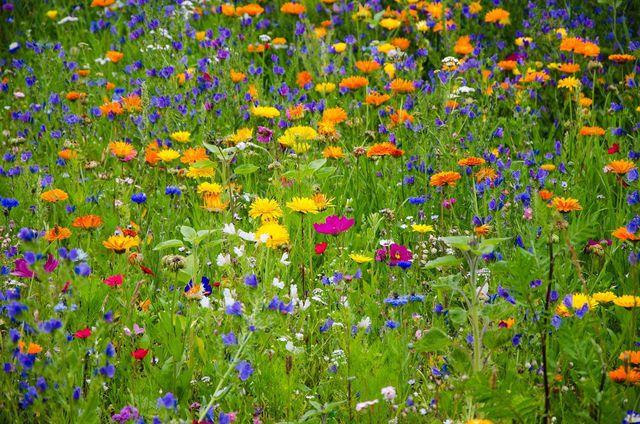 Blühstreifen im Garten sind eine Bienenweide.