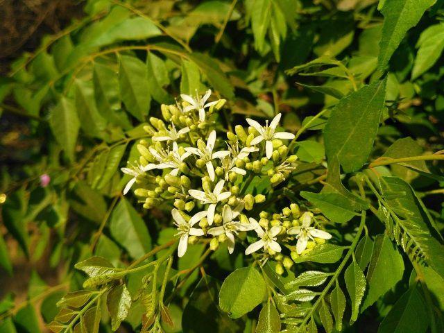 Der Currybaum stammt aus Asien.