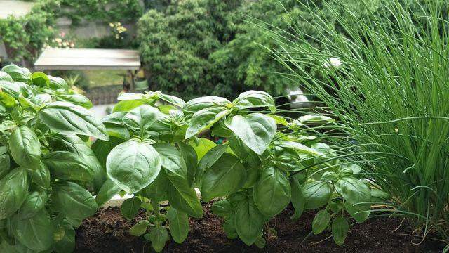 Basilikum pflanzen: im Garten, auf dem Balkon und auf dem Fensterbrett