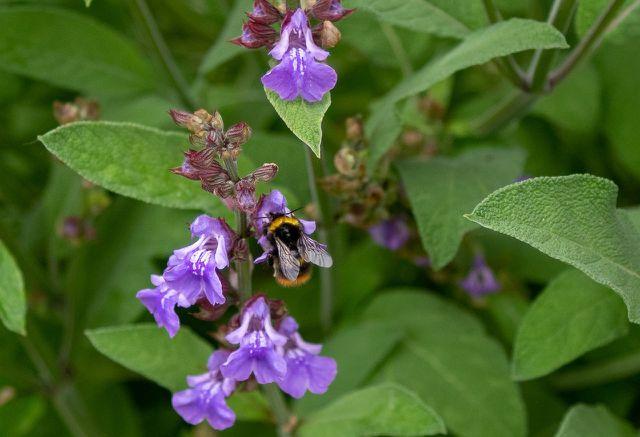 Nicht nur Menschen lieben Salbei – auch für viele Insekten ist die Pflanze sehr wertvoll