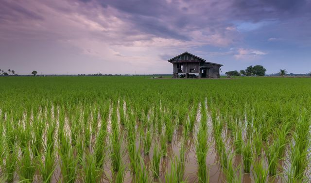 Weniger Wasser auf Reisfeldern ist eine Idee gegen Methangas