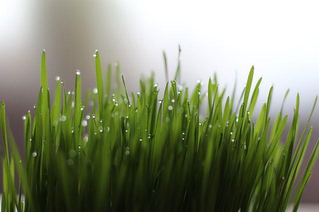 Weizengras - Gerstengras