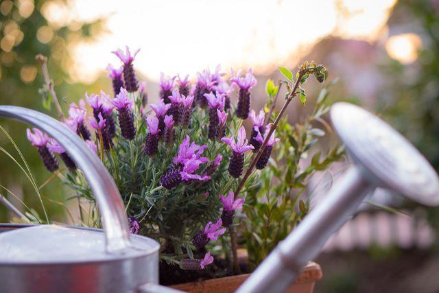 mediterrane pflanzen diese gedeihen besonders gut auf dem balkon oder im garten. Black Bedroom Furniture Sets. Home Design Ideas