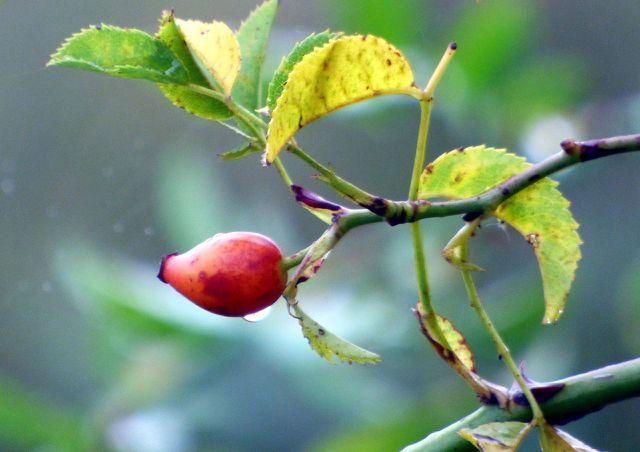 Die Hagebutten der Weinrose enthalten viel Vitamin C und sind eine wichtige Nahrungsquelle für Vögel.