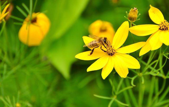 Mädchenauge mit ungefüllten Blüten.