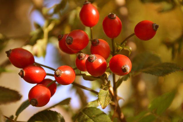 Die Hagebutte gehört zu den bekanntesten Früchten, die im Herbst an Wildpflanzen wachsen.