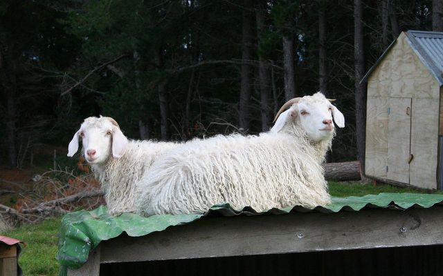 mohair in South Africa