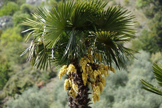Die Blüten der Hanfpalme sind gelb und zeigen sich ab Mai.