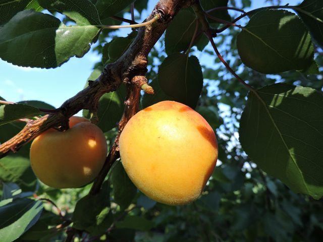 Nach der Ernte ist der beste Zeitpunkt, um den Aprikosenbaum zu schneiden.