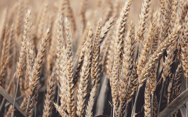 what is seitan wheat gluten