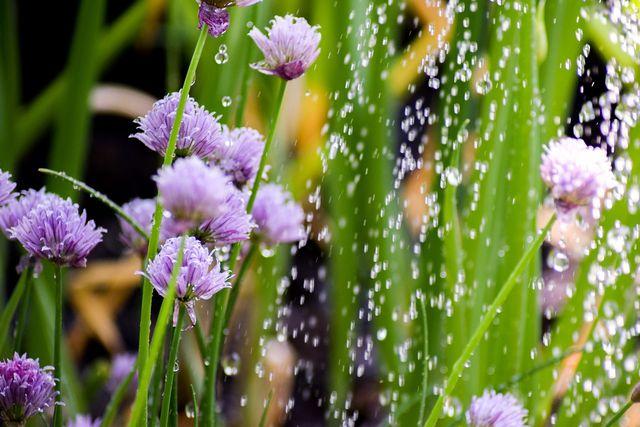 Im Hochsommer braucht der Balkongarten sehr viel Wasser.
