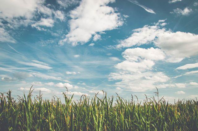 Mais für Biogasanlagen wird üblicherweise in Monokulturen angebaut.
