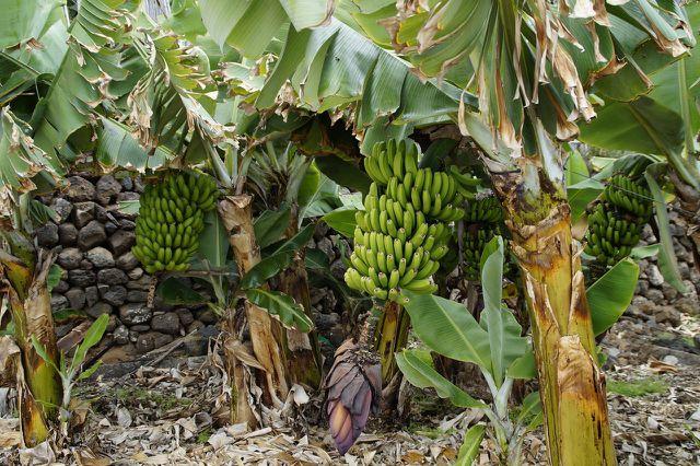 Für Bananenarbeiter sind faire Löhne überlebenswichtig.