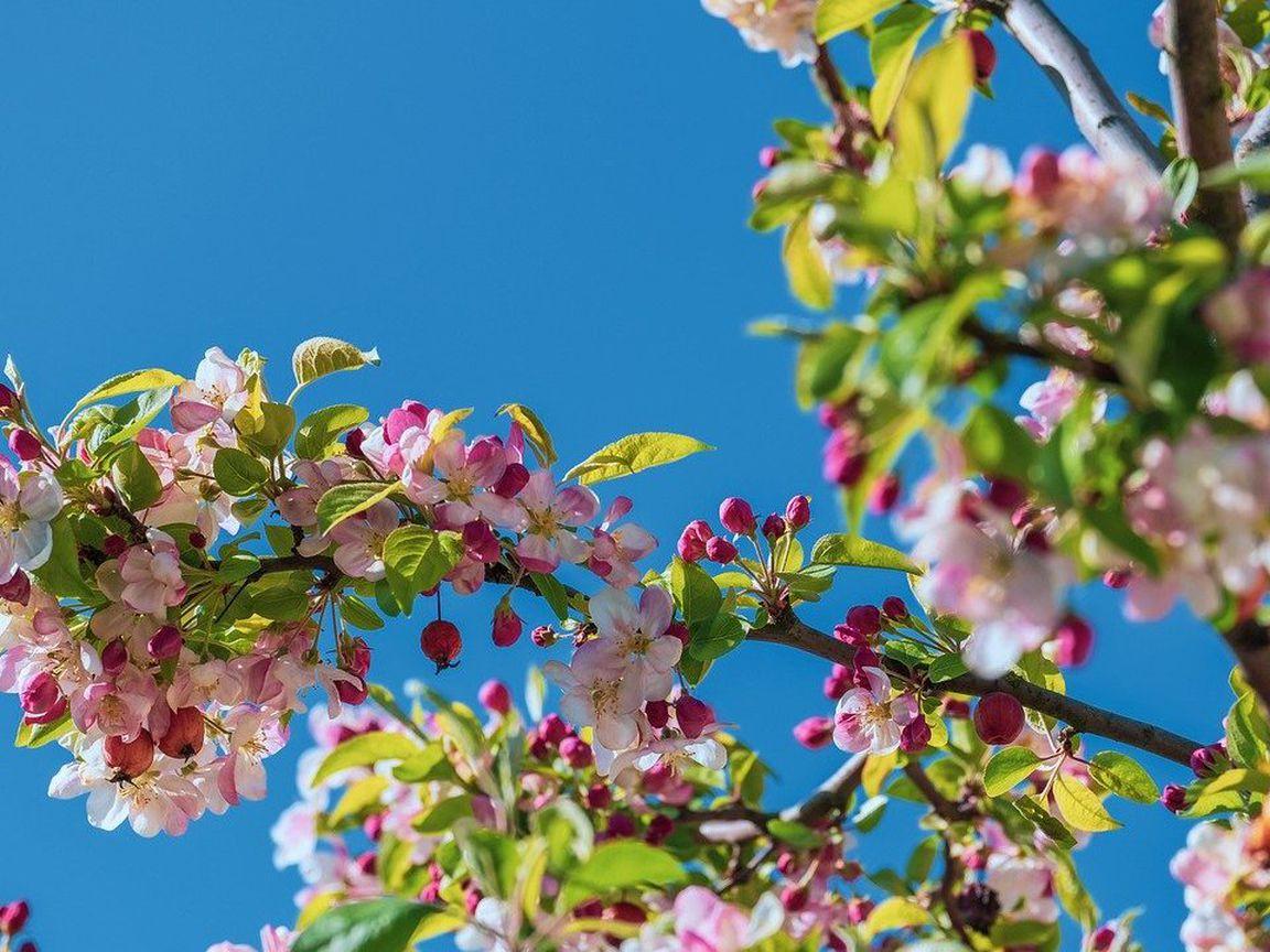 Zierapfel So pflanzt du den insektenfreundlichen Baum   Utopia.de