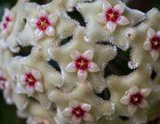 Porzellanblume Hoya Wachsblume
