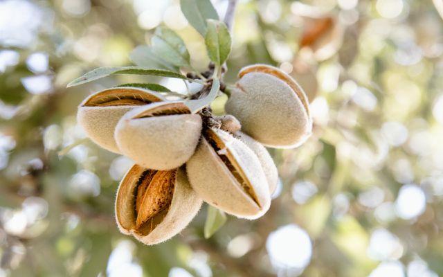 is almond milk vegan