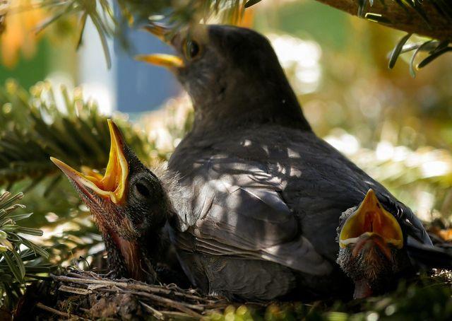 Ab dem 1. März ist Heckenschneiden verboten – Vögel benutzen die Gartenhecke nämlich gerne als Nistplatz.
