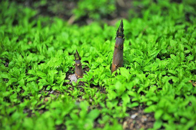 Bambussprossen wachsen schnell nach und benötigen nicht viele Pestizide oder Düngemittel.