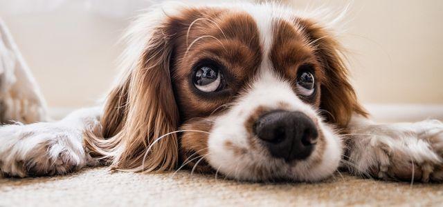 Hundeallergie