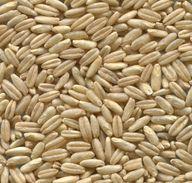 Kamutkörner sind länglicher als herkömmlicher Weizen.