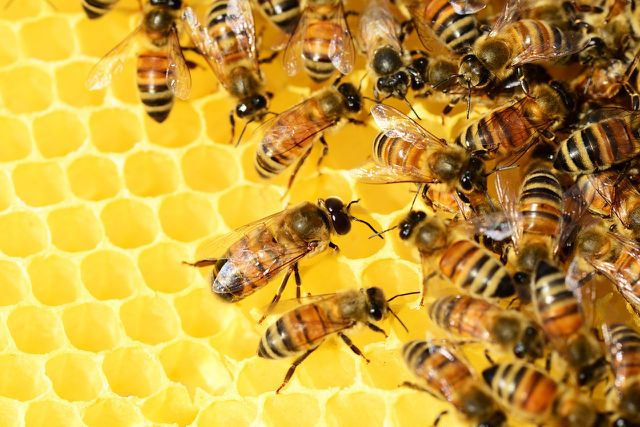 Ein Bienenschwarm tummelt sich auf einer Honigwabe.