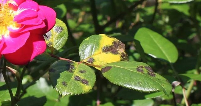 Sternrußtau ist eine häufige Rosenkrankheit, die du an den Blättern erkennen kannst.