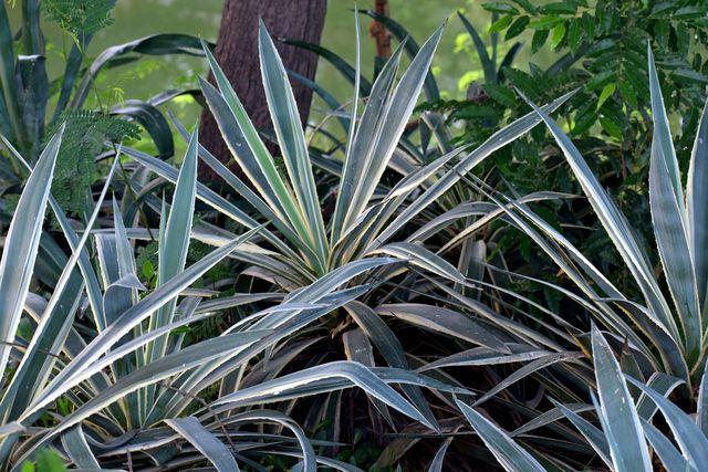 Yucca-Palmen bilden viele Ableger, die zu zur Vermehrung verwenden kannst.
