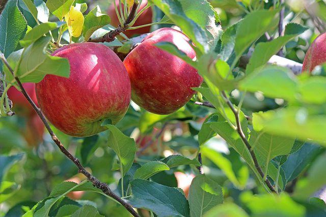 Den Apfelkuchen aus der Pfanne solltest du zubereiten, sobald Äpfel Saison haben.