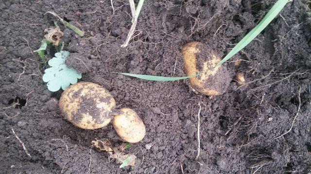 Kartoffeln pflanzen so funktioniert s for Wann kartoffeln pflanzen