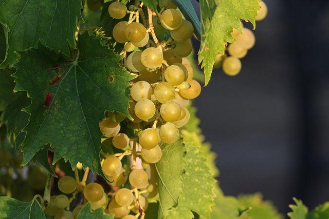 Verwende möglichst reife Weintrauben, um Federweißen selber zu machen.