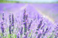 Der Lavendel ist eine anspruchslose Pflanze.