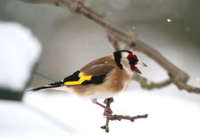 Heimische Vögel Im Winter