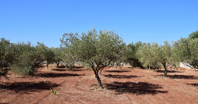 Für einen hohen Ertrag werden Olivenbäume deutlich strenger geschnitten.