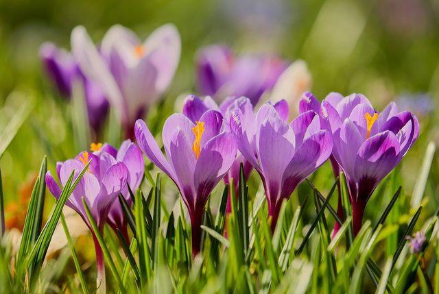 Krokusse solltest du am besten an einen sonnigen Platz pflanzen.