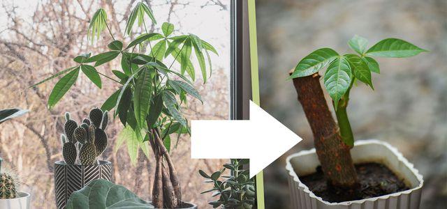 money tree propagation
