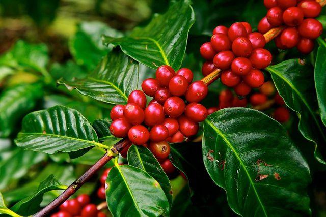 Reife Kaffeebohnen am Strauch