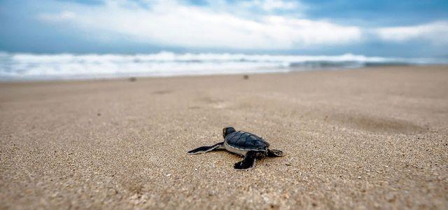 Besonders junge Schildkröten fallen unserem Plastikmüll oft zum Opfer.