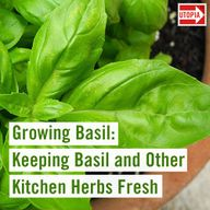 Growing Basil: Keeping Basil and Other Kitchen Herbs Fresh