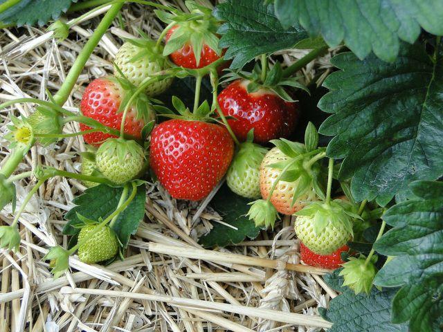Stroh und Heu zwischen den Erdbeerpflanzen hält die Früchte trocken und verhindert Fäulnis.