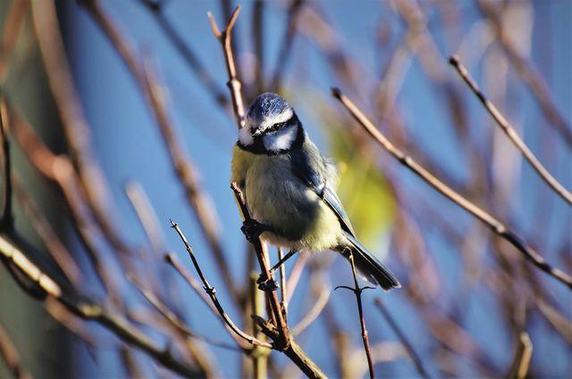 Heimische Vögel wie die Blaumeise gehören zu den Fressfeinden der Gespinstmotten.