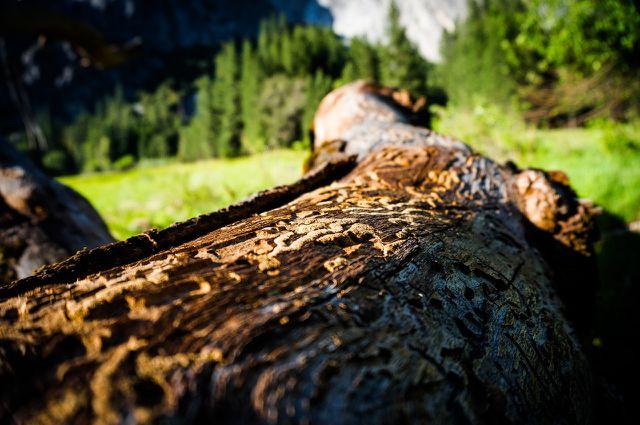 Borkenkäfer fressen ganze Gänge in die Bäume.
