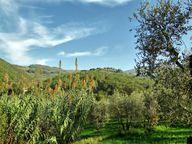 Der Olivenbaum ist zwar bis zu einem gewissen Grad winterhart, ist aber Frost gegenüber sehr empfindlich.