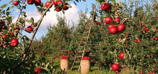 apfelbaum krankheiten schädlinge