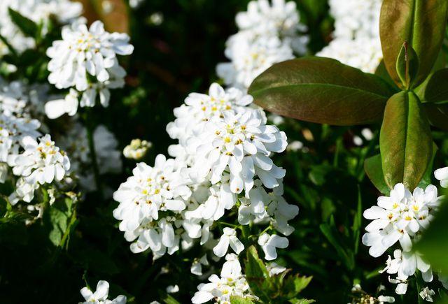 Die Schleifenblume lässt sich leicht über Stecklinge vermehren.